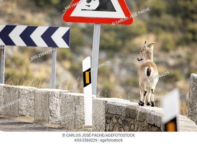 Western Spanish Ibex (Capra pyrenaica victoriae), Sierra de Gredos, Spain