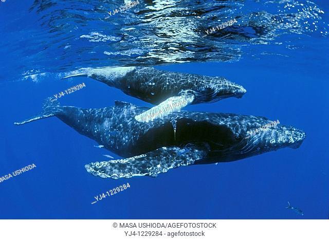 humpback whales, Megaptera novaeangliae, mother and calf with rainbow runners, Elagatis bipinnulatus, Hawaii, USA, Pacific Ocean