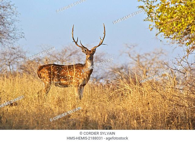 India, Rajasthan state, Ranthambore National Park, Tiger reserve of Kabini, Chital or Cheetal or Chital deer, Spotted deer or Axis deer (Axis axis), adult male