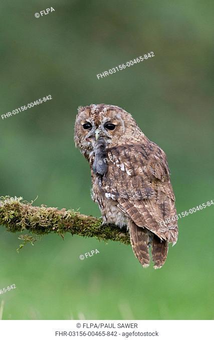 Tawny Owl (Strix aluco) adult, with Common Shrew (Sorex araneus) prey in beak, perched on mossy branch, September (captive)