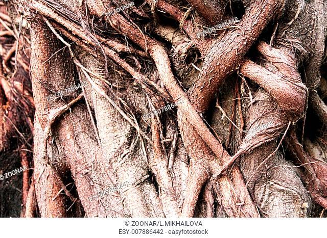 Banyan tree trunk