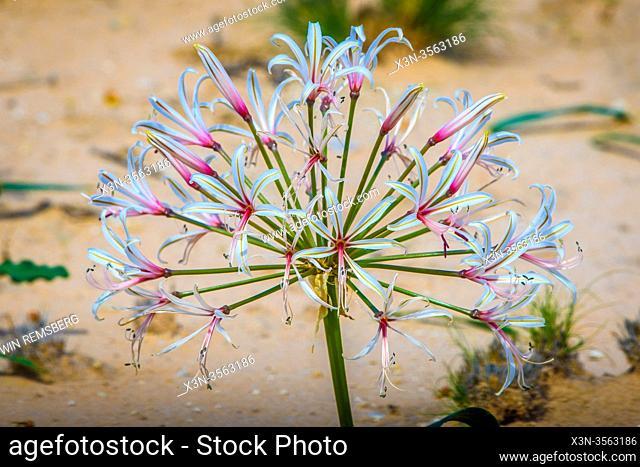 Flowers (Crinum macowanii) in Kgalagadi, South Africa