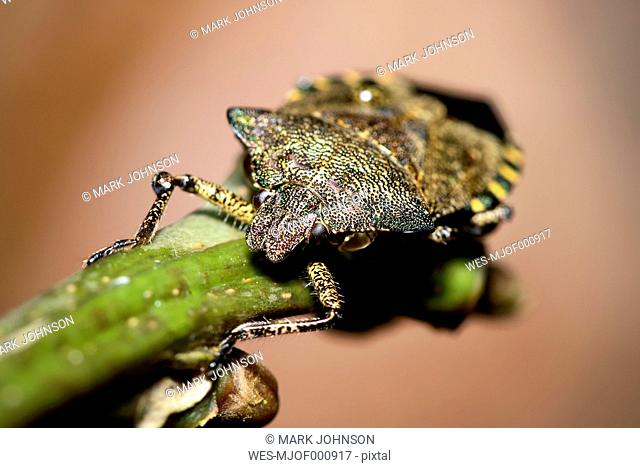 Troilus luridus sitting on twig
