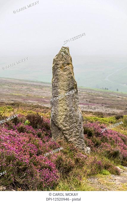 Standing stone amidst pink Heather in the mist in the North Yorkshire moors; Yorkshire, England