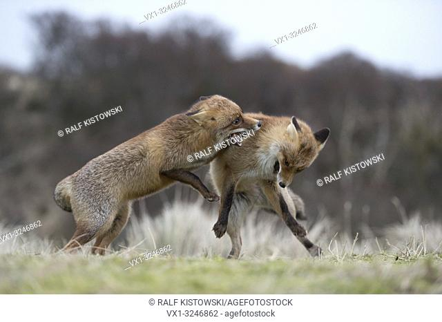 Red Foxes / Rotfuechse ( Vulpes vulpes ), two adults in agressive fight, fighting, biting each other, territorial behaviour, rutting season, wildlife, Europe