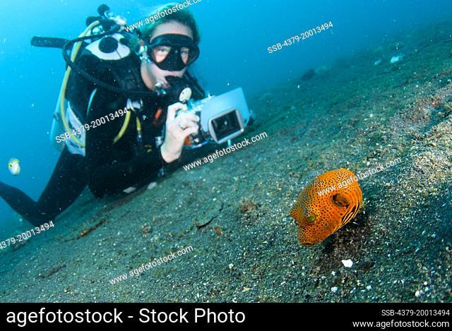 A juvenile Star Pufferfish, Arothron stellatus, and diver, Lembeh Strait, Sulawesi, Indonesia