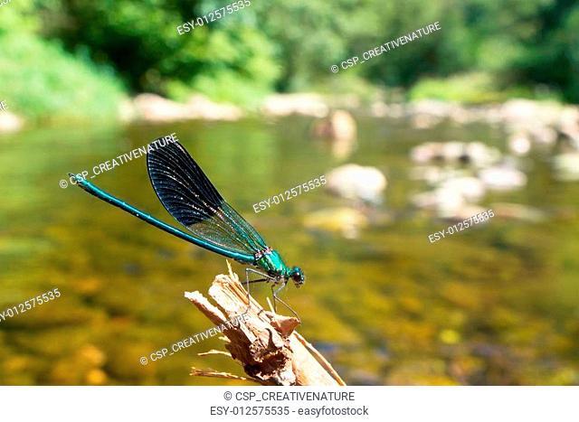 Damselfly on a twig