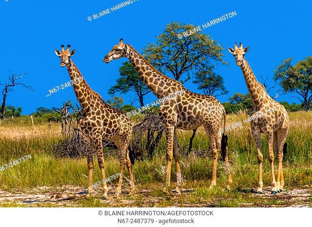 Giraffes, Kwando Concession, Linyanti Marshes, Botswana