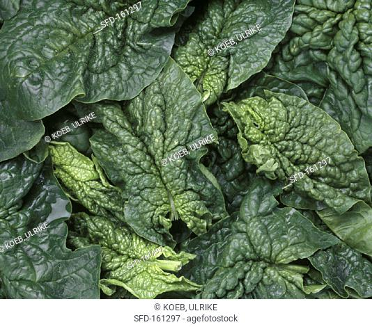 Several spinach leaves (close-up)