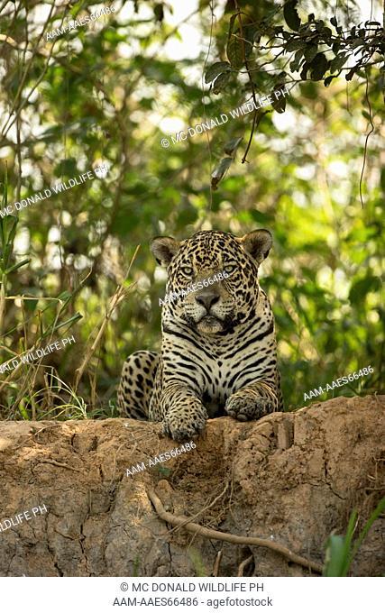 Jaguar, Panthera onca, resting on the bank along the river, Pantanal, Brazil, South America