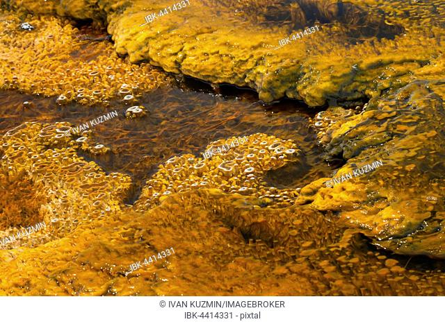Bacterial growth in the warm stream of a thermal spring, West Thumb Geyser Basin, Yellowstone National Park, Wyoming, USA