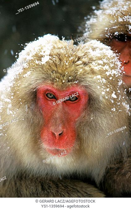 JAPANESE MACAQUE macaca fuscata, PORTRAIT OF ADULT COVERED IN SNOW, HOKKAIDO ISLAND IN JAPAN