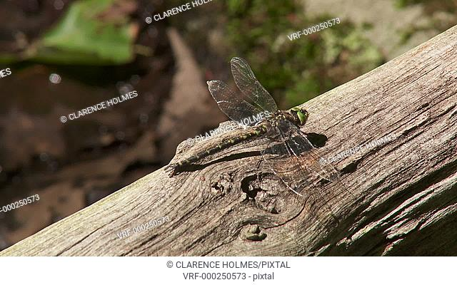A male Harlequin Darner (Gomphaeschna furcillata) dragonfly perches on a fallen tree in spring, and then flies away