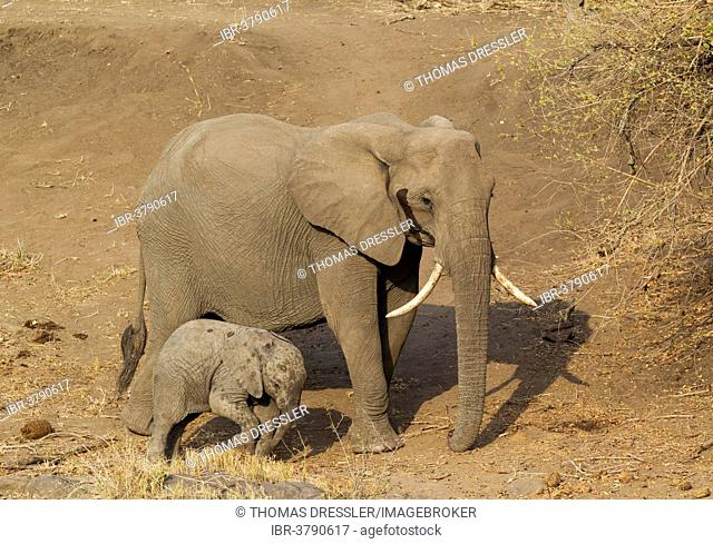 African Elephant (Loxodonta africana), cow with calf, Kruger National Park, South Africa