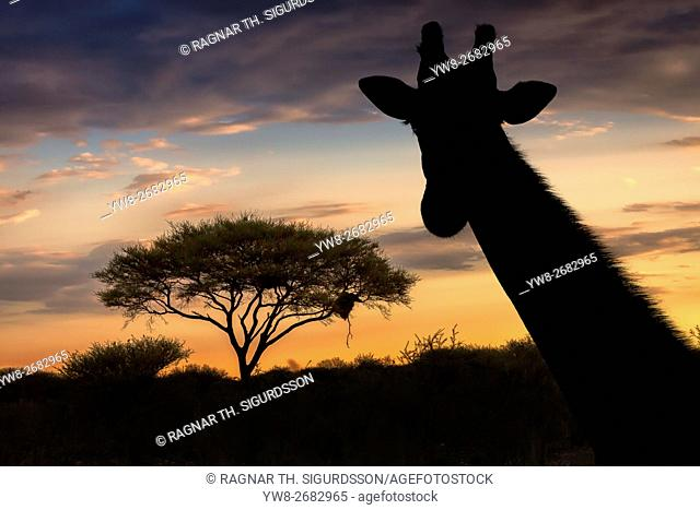 Silhouette of Giraffe and acacia tree, Etosha National Park, Namibia, Africa