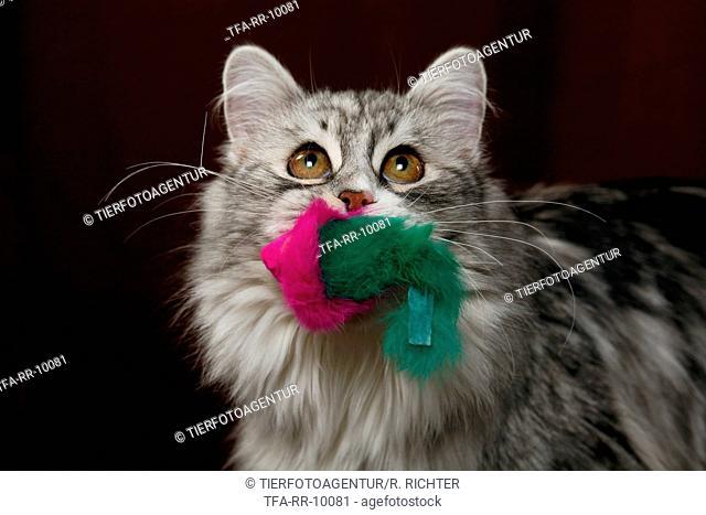 playing Siberian Cat