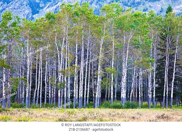 A forest of Aspen trees in Banff National Park, Alberta, Canada