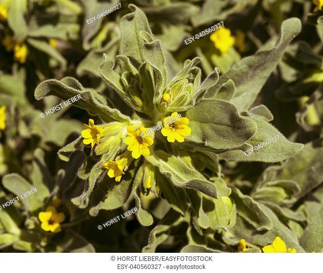 Oriental Alkanet Alkanna orientalis in flower. Botanical Garden, KIT Karlsruhe, Germany, Europe