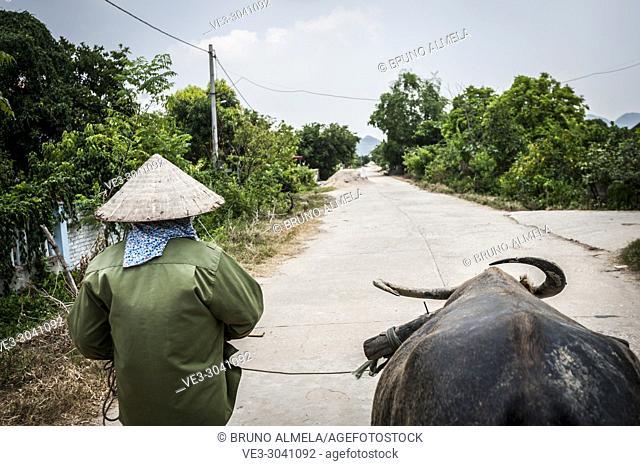 Vietnamese farmer and her asian water buffalo in Dong Tam (Ninh Binh province, Vietnam)