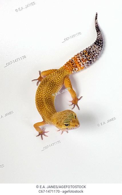 Leopard Gecko Eublepharis macularis