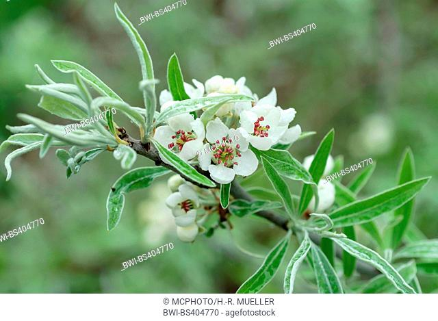 Willow-leaved Pear, Willow leaved Pear, Willowleaf Pear, Weeping Pear (Pyrus salicifolia), blooming branch, Germany, Saxony