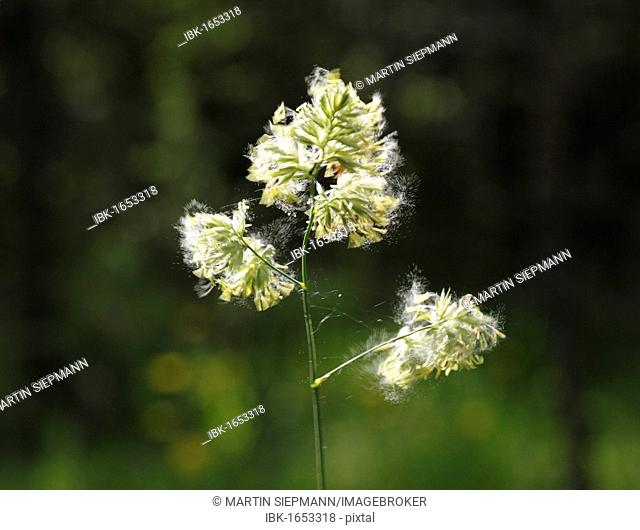 Cocks Foot or Orchard Grass (Dactylis glomerata), Germany, Europe