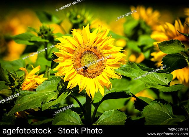 A field of sunflowers growing within the Brenne National Park, Indre, France