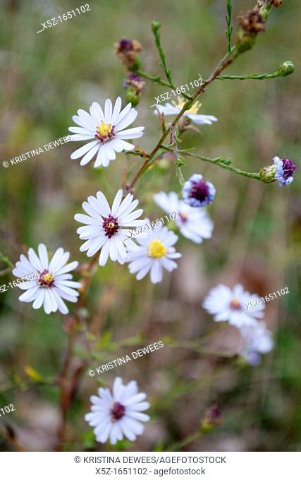 Some light purple wild Asters in the Fall