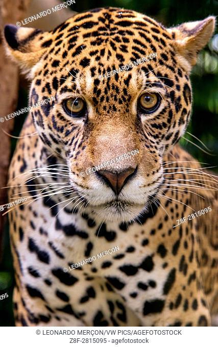 Jaguar (Panthera onca), in captivity, at a wild cats rehab center, photographed in Goiais, Brazil. Cerrado Biome
