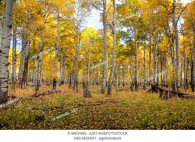 Fall colors have arrived at the Kolob Plateau in Southern Utah