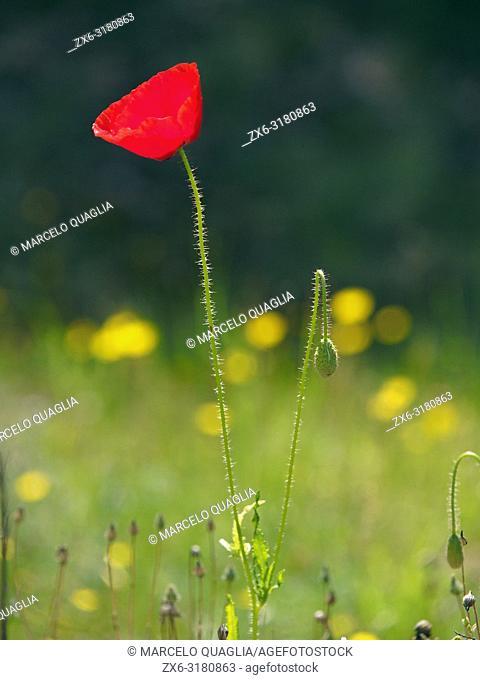 Poppy at Olost village countryside. Lluçanès region. Barcelona province, Catalonia, Spain