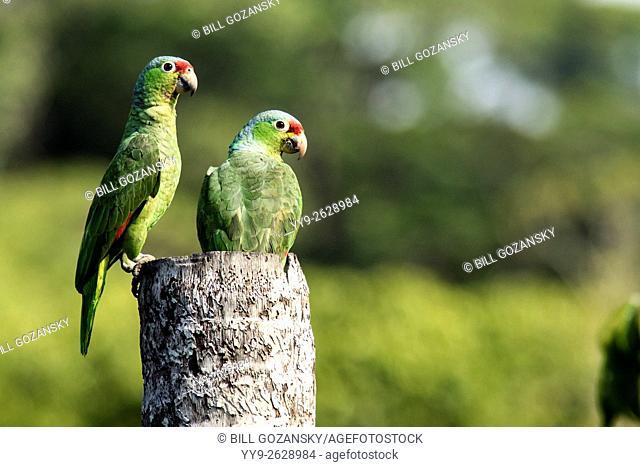 Red-lored Parrots or Red-lored Amazon Parrots - Laguna del Lagarto Lodge, Boca Tapada, San Carlos, Costa Rica