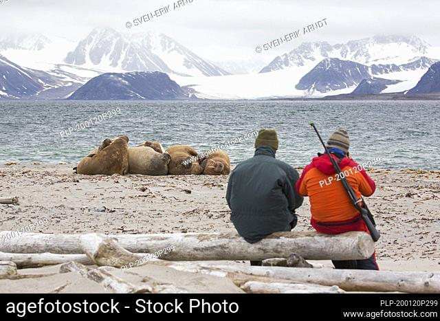 Eco-tourist with armed guide watching walruses (Odobenus rosmarus) resting on the beach at Svalbard / Spitsbergen, Norway