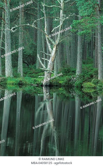 Great Britain, Scotland, Gaingorm, loch Morlich, pinewood, Pinus sylvestris, shore, wood, detail