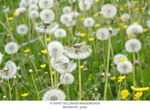 Meadow in the spring with Dandelion (Taraxacum officinale) clocks or blowballs