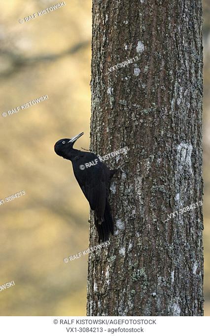 Black Woodpecker ( Dryocopus martius ) climbing up an oak tree, searching for food, nice early morning light, wildlife, Europe
