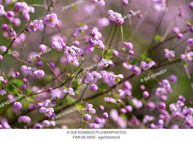 Meadow rue, Chinese meadow rue, Thalictrum delavayi, Tiny pink coloured flowers growing outdoor