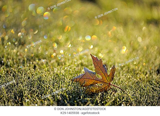 Frost refractions and leaves on lawn