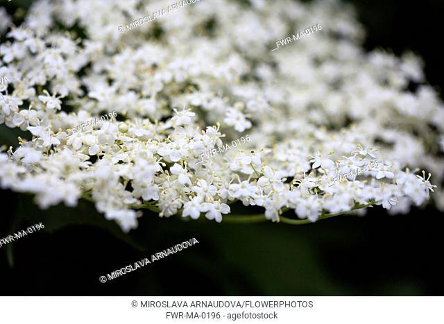 Elder, Sambucus nigra, Close up of white coloured flowers growing outdoor