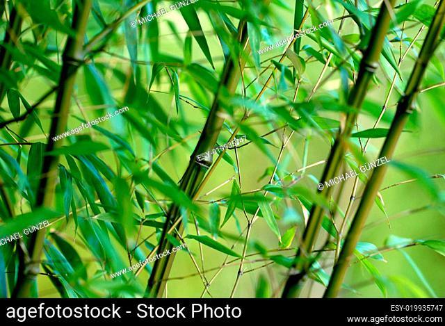 Bambus Phyllostachys Iridescens