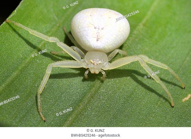 Tropiscal crab spiders (Thomisidae), sits on a leaf, Costa Rica