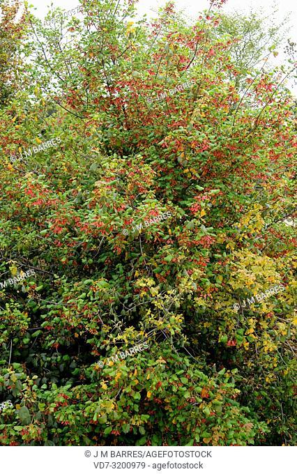 Syrian maple (Acer obtusifolium) is an evergreen shrub native to Syria, Israel, Lebanon, Turkey and Cyprus
