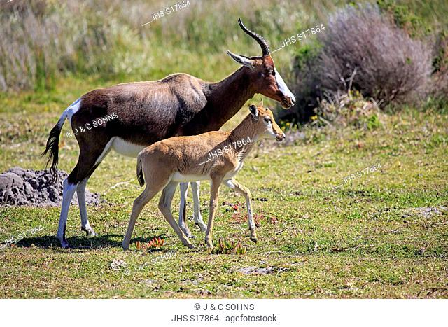 Bontebok, (Damaliscus dorcas dorcas), adult with young, Cape of the Good Hope, Table Mountain Nationalpark, Western Cape, South Africa, Africa