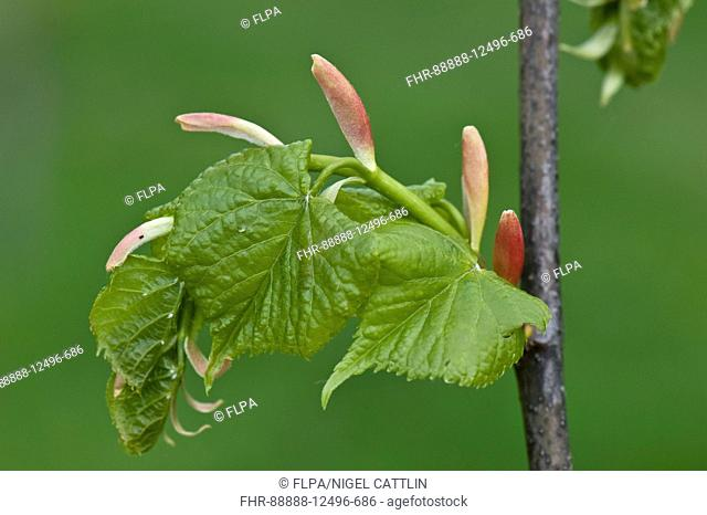 Small-leaved Lime, Tilia cordata, young leaves and bracts on a tree in spring, April