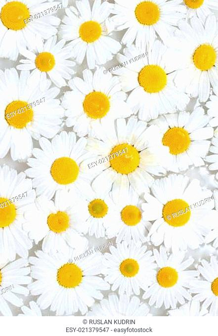 Background from camomile