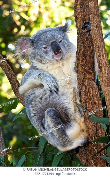 Koala Phascolarctos cinereus at the Koala Sanctuary, Brisbane, QLD, Australia