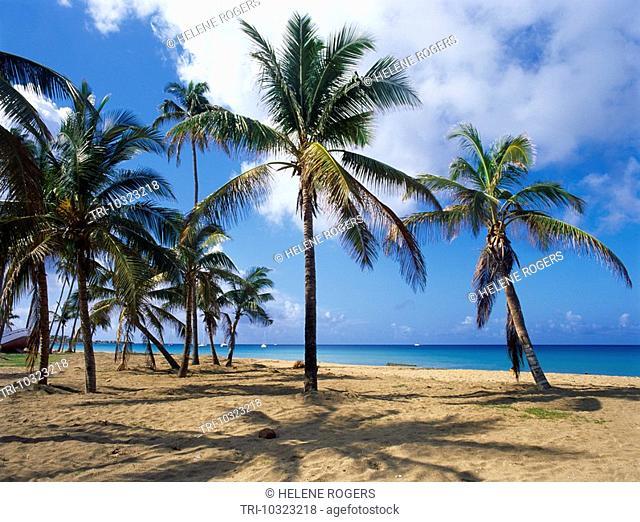 Nevis St Kitts Pinney's Beach Palm Trees