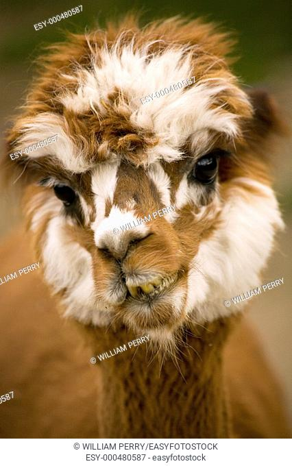 Close Up Face of Calico Brown and White alpaca, lama, Portrait