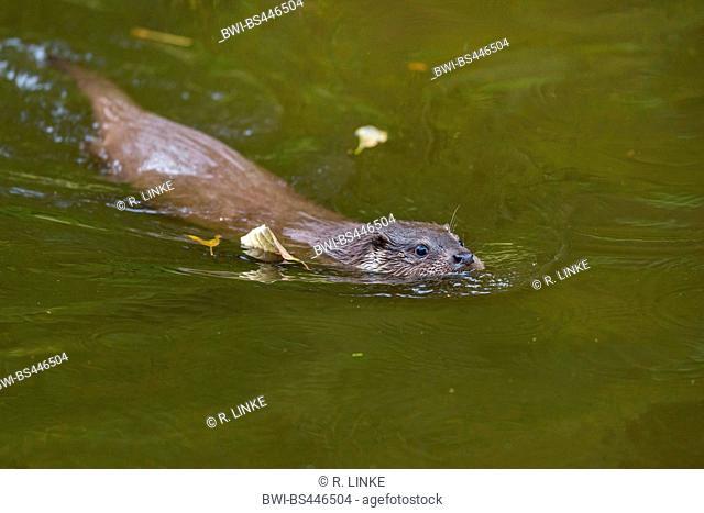 European river otter, European Otter, Eurasian Otter (Lutra lutra), swimming otter, Germany, Bavaria