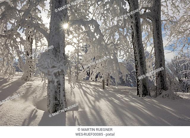 Germany, Saxony-Anhalt, Snow-covered trees and sun rays